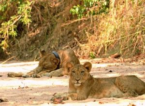 Future of Lions in Africa
