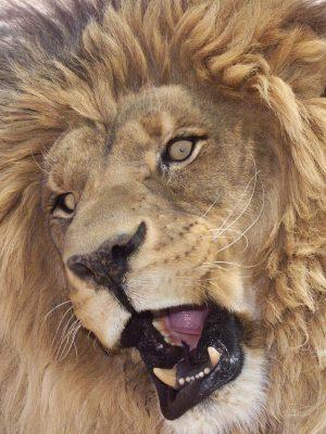 The Lion Habitat Ranch – Lion Sanctuary in Henderson Nevada